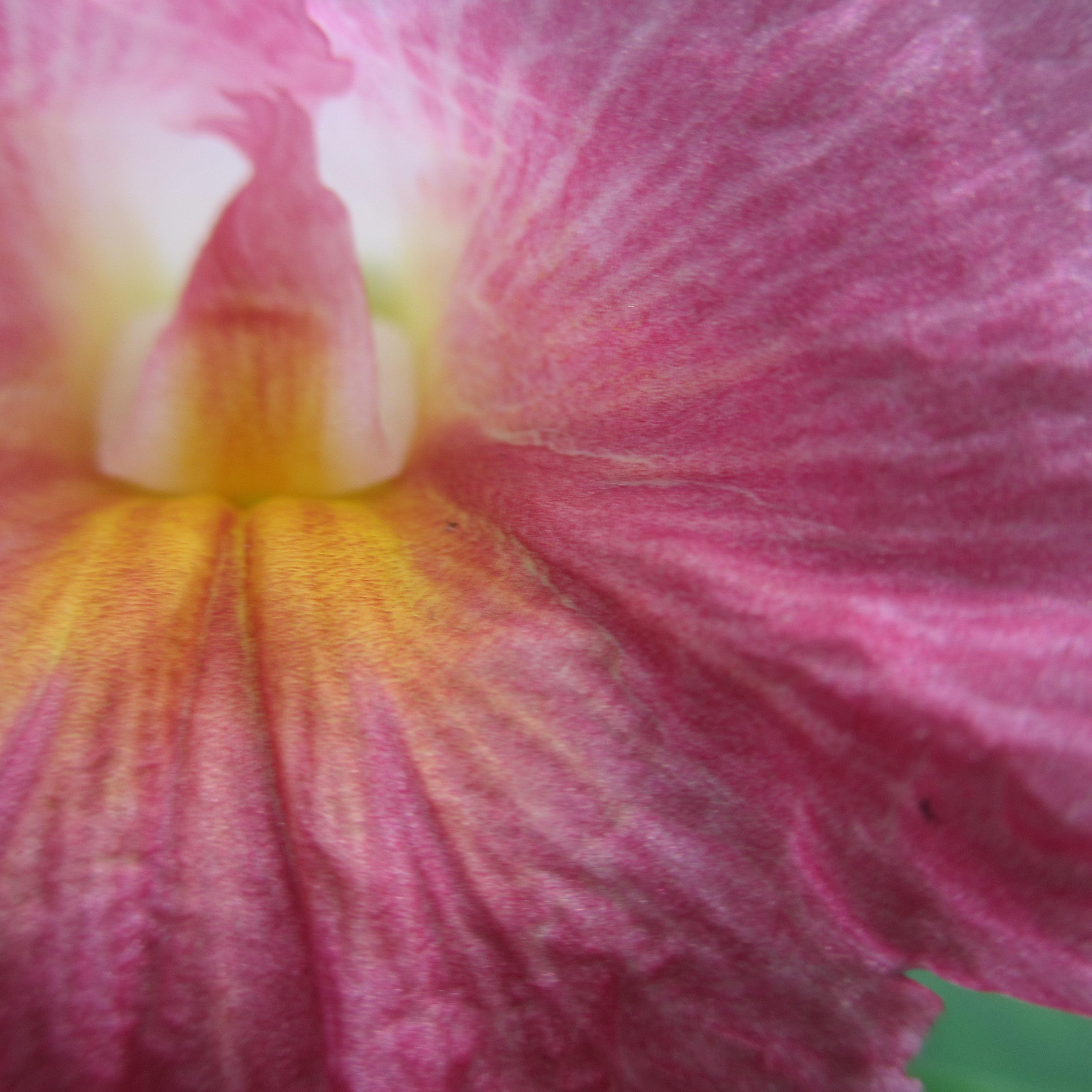 Viola hederacea asexual reproduction